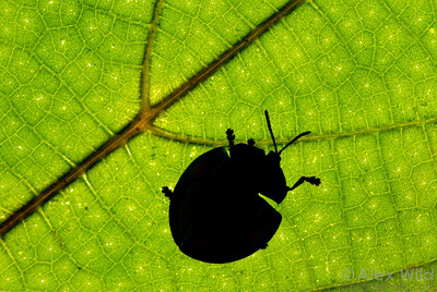 Among our favorite insect photo techniques is the silhouette, where either an off-camera strobe or natural sunlight is used to backlight a leaf. We will practice this approach during our workshop.  This Stolas leaf beetle (Chrysomelida) was seen walking about in vegetation just outside the main lodge building.