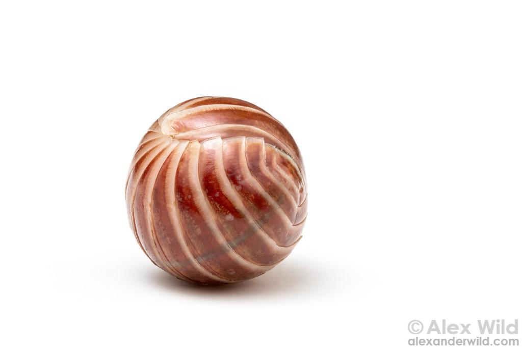 A pill millipede rolls up into a ball.