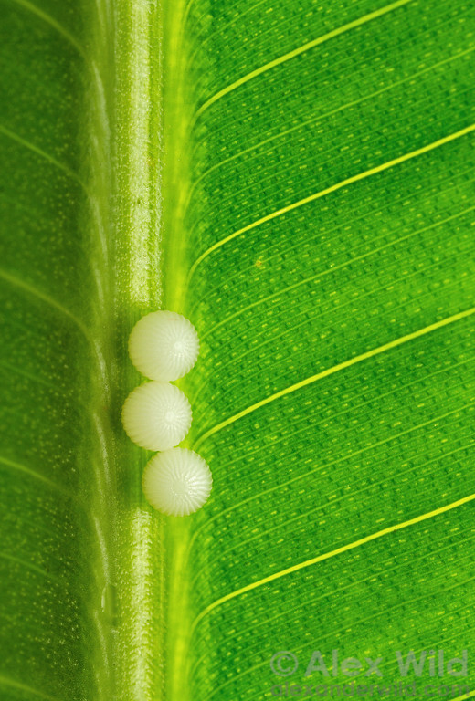 Eggs of a Caligo owl butterfly, photographed at the Green Hills Butterfly Ranch. The Butterfly Ranch is an environmentally-conscious facility that, unlike many butterfly farms, raises only local species.