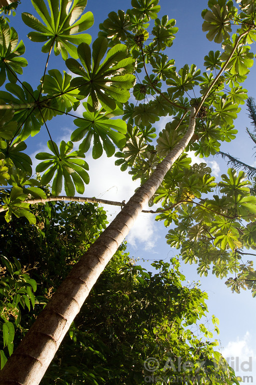 Cecropia trumpet trees are common along roadsides and disturbed habitats in Belize. Their stems house colonies of fierce Azteca ants that protect the tree in exchange for room & board.