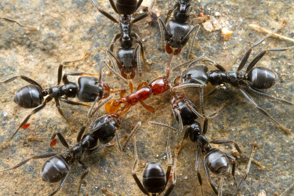 Ants are worth your attention! Although the little red ant at center appears to be in trouble, the larger Azteca ants have the most to lose from this fight. The little insect is an army ant and a specialized predator of other ants. The larger Azteca guards are trying to fend off a raid by disabling the front lines of their enemy's advance. If they don't do enough the dissuade the red army from attacking, the Azteca nest may be plundered.  Photographed at night on the Caves Branch lodge grounds.