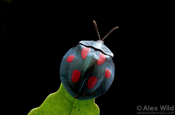 Tropical forests host a tremendous diversity of plant species, fueling a corresponding diversity of plant-feeding insects. This Stolas sp. leaf beetle (Chrysomelidae) was found along a trail at Caves Branch and photographed in an indoor studio.
