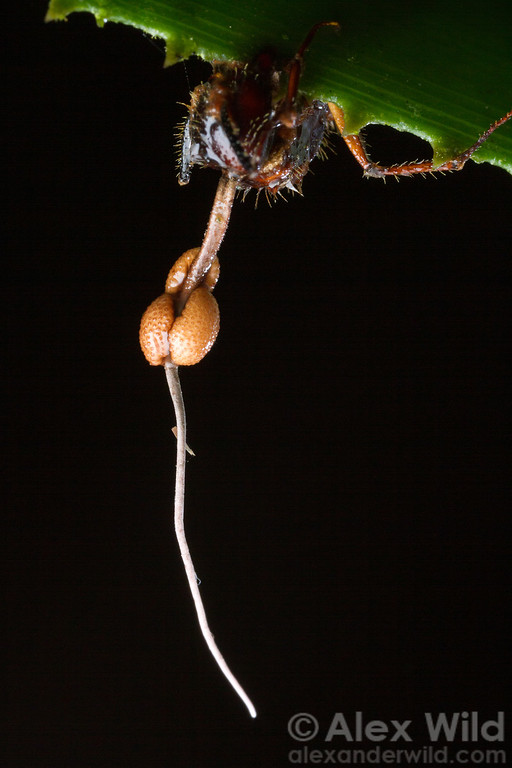 This Camponotus worker ant has succumbed to an Ophiocordyceps fungus. The ant's death is peculiarly gruesome. In the early stages of infection the fungus takes partial control over the ant's brain, directing the ant to an area where the humidity is optimal for fungal growth. There, the ant bites down on a leaf, anchoring it in place. The fungus then kills the insect, consumes the tissues, and issues a fruiting body.  Photographed one the Caves Branch lodge grounds.