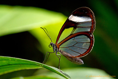 The lovely glasswinged butterfly Greta oto. Photographed at Green Hills Butterfly Ranch.