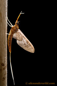 During the evenings we will set up a blacklight at the lodge to attract flying insects such as this mayfly.