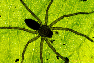 A spider photographed on a backlit leaf at Caves Branch lodge.