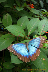 Perhaps the most widely recognized of all Neotropical insects is the spectacular Morpho. This individual was photographed at the Green Hills Butterfly Ranch, Belize's largest butterfly volarium. If you have trouble shooting a Morpho in the wild (I certainly did) you'll be sure to get a photo during our visit to Green Hills.