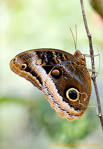 The giant and beautiful Caligo uranus owl butterfly, photographed at the Green Hills Butterfly Ranch.