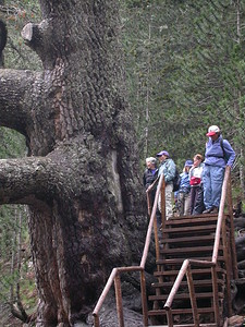3000 year old Black Pine approx. 26.5' wide and 65.5' tall.