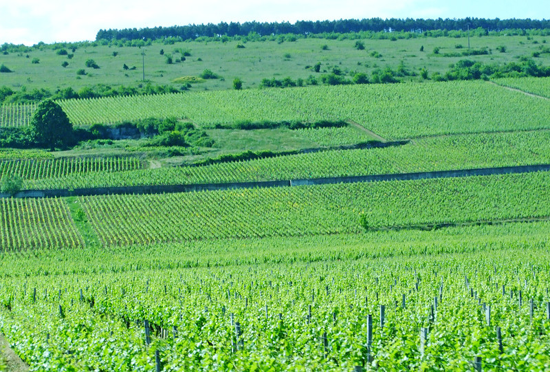 A typical vineyard in the Burgunday Wine Region.  The fields at the top fo the hill produce the best wine.