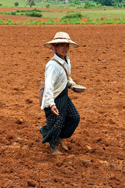 Planting rice.