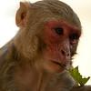 Burmese Long-tailed Macaque (Macaca fascicularis aurea) at Popa Taung Kalat