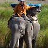 Asian or Asiantic Elephant (Elephas maximus)