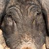 Pig at  village near Kalaw
