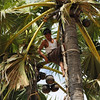 Tapping palm for syrup