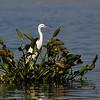 Egret on water hyacinth, Lake Inle, Burma.