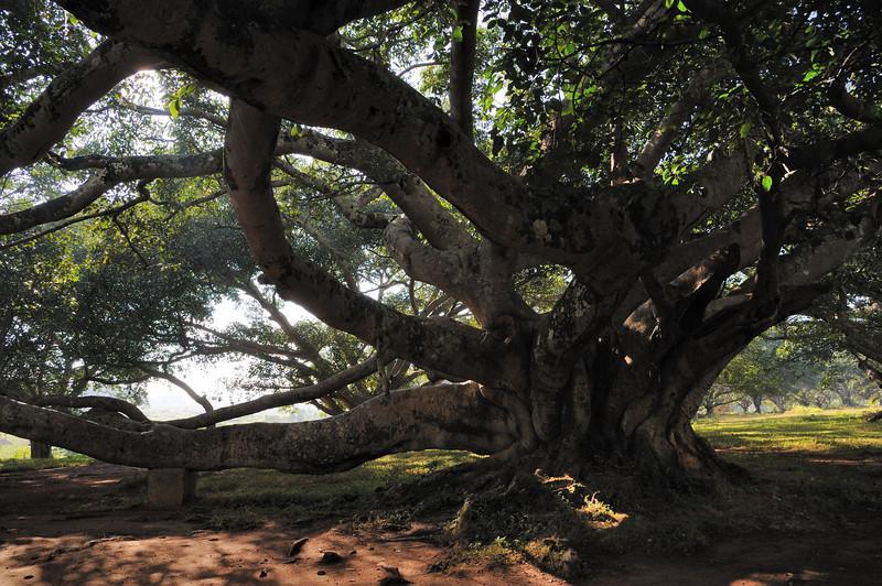 A splendid Banyan tree