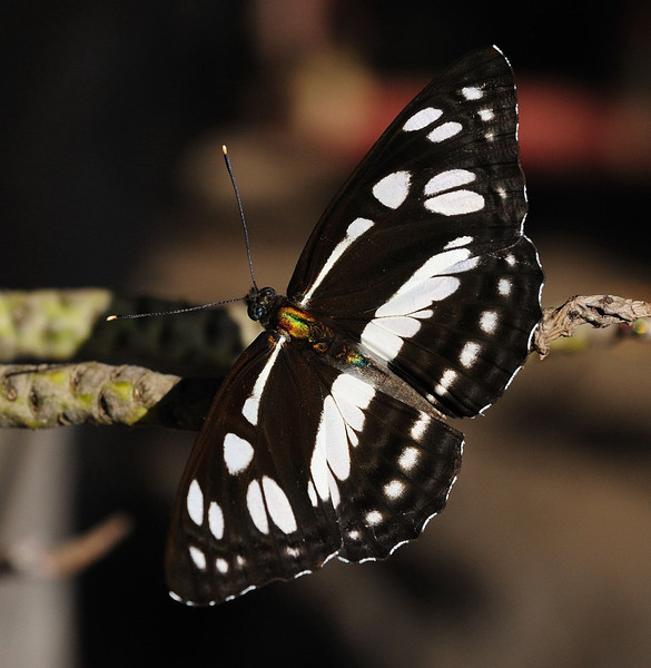 Common Sailor Butterfly (Neptis hylas).