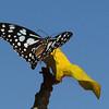 As yet, unidentified butterfly.