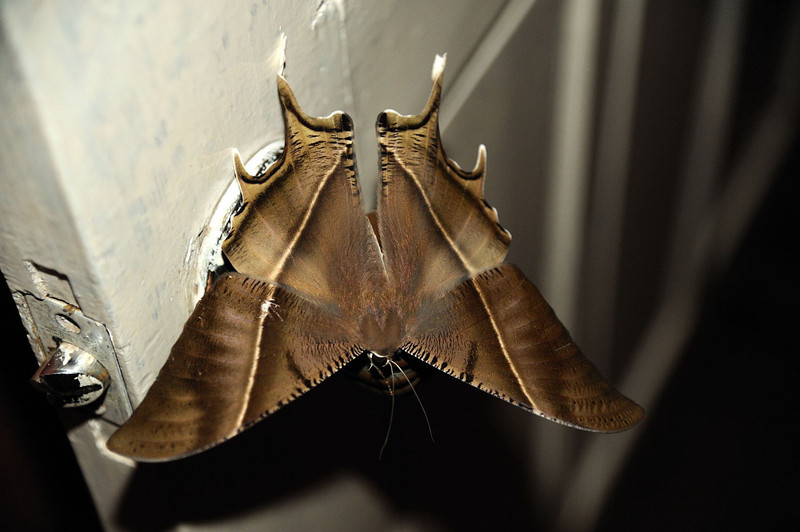 Giant Uranid Moth (Lyssa zampa)