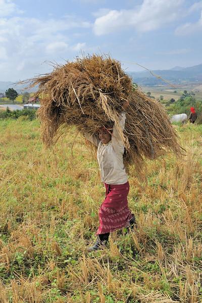 Harvesting the rice crop in Pindaya