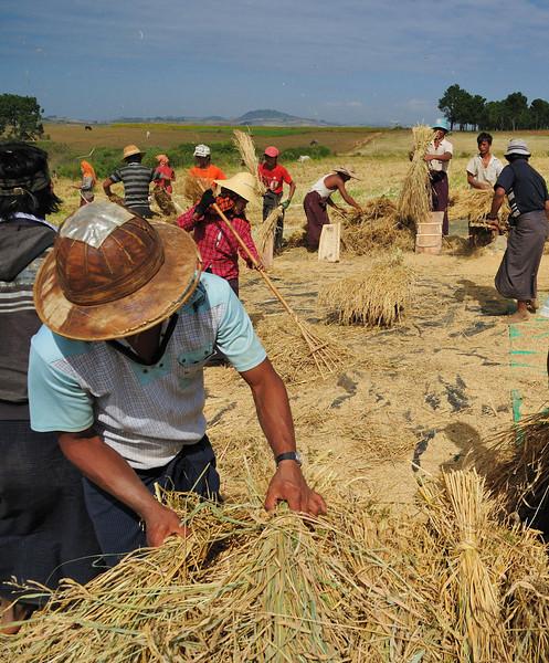 Threshing the rice