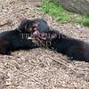 Tasmanian Devils.