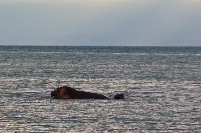 Nilpferd im Tanganjikasee