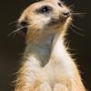 """Meerkat Busch Gardens Florida <a href=""""http://wklein.smugmug.com/Travel/Busch-Gardens"""">http://wklein.smugmug.com/Travel/Busch-Gardens</a>"""