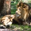 """Lion Busch Gardens Florida <a href=""""http://wklein.smugmug.com/Travel/Busch-Gardens"""">http://wklein.smugmug.com/Travel/Busch-Gardens</a>"""