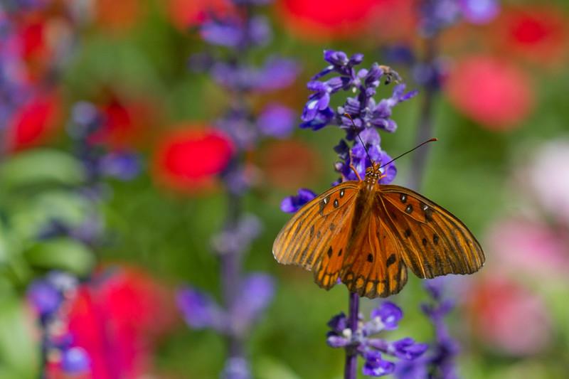 """Butterfly, gulf, fritillary Busch Gardens Florida <a href=""""http://wklein.smugmug.com/Travel/Busch-Gardens"""">http://wklein.smugmug.com/Travel/Busch-Gardens</a>"""