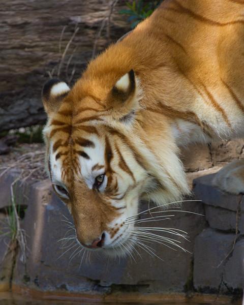 "Tiger Busch Gardens Florida <a href=""http://wklein.smugmug.com/Travel/Busch-Gardens"">http://wklein.smugmug.com/Travel/Busch-Gardens</a>"