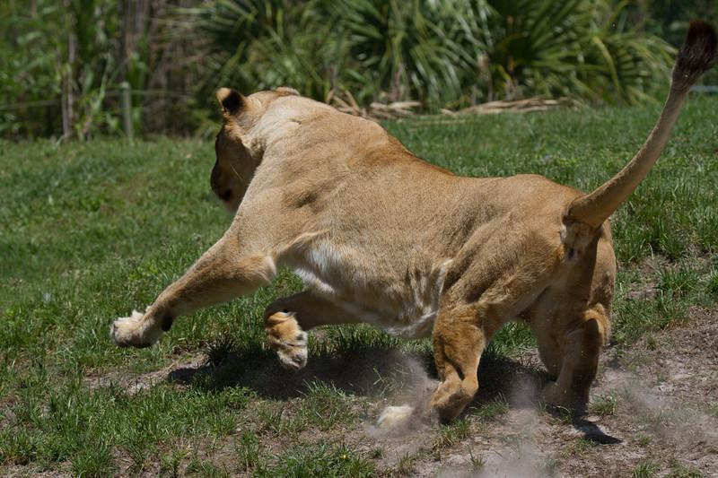 """Lion on the hunt Busch Gardens Florida <a href=""""http://wklein.smugmug.com/Travel/Busch-Gardens"""">http://wklein.smugmug.com/Travel/Busch-Gardens</a>"""