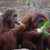 "orangutan Busch Gardens Florida <a href=""http://wklein.smugmug.com/Travel/Busch-Gardens"">http://wklein.smugmug.com/Travel/Busch-Gardens</a>"