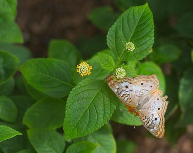 Beige butterfly 9736
