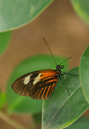 Orange & brown butterfly  Nikn 3662