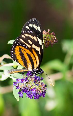 Monarch on purple flower9683