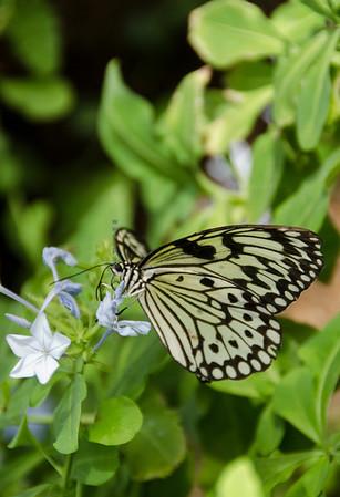 Butterfly Black White & flower 3717