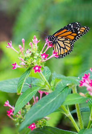 Monarch Butterfly Damaus P 9587V