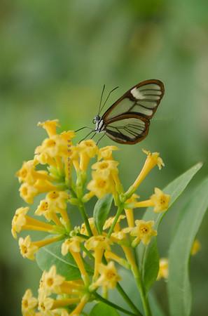 clear brn butterfly yellow flower Nikon3684