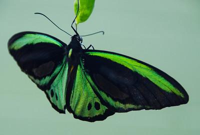 Butterfly green  Birdwinger nikon3771