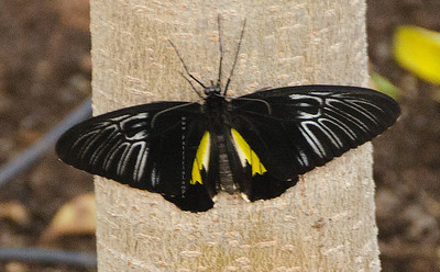 Butterfly Black silver yellow nikon 3772
