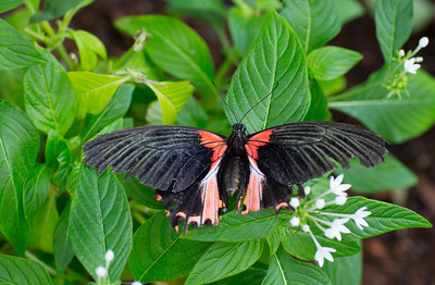 Butterfly Papillo   black 9614