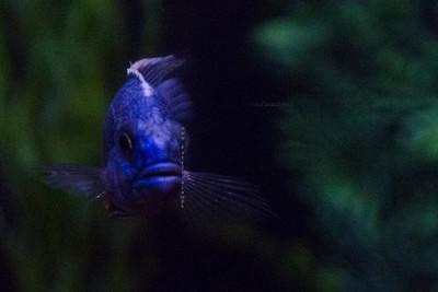fish purple Nikon 3614