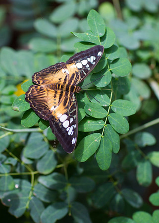 Butterfly gold black on leaves 9681