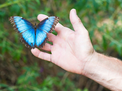 Morpho p blue butterfly on hand 9680