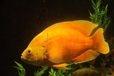 big gold fish  Nikon 3633
