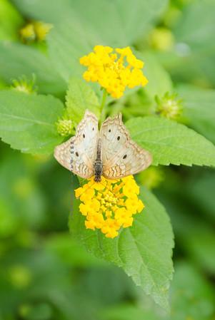 Butterfly Beige on yellow flower Nikon 3729