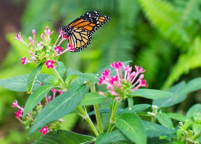 Monarch Butterfly Damaus P 9587