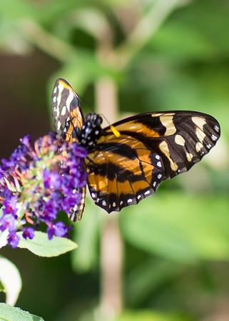 Monarch on purple flower9684